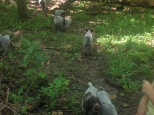 Wirehaired Pointing Griffon puppies