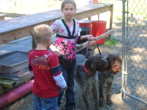 Wirehaired Pointing Griffons