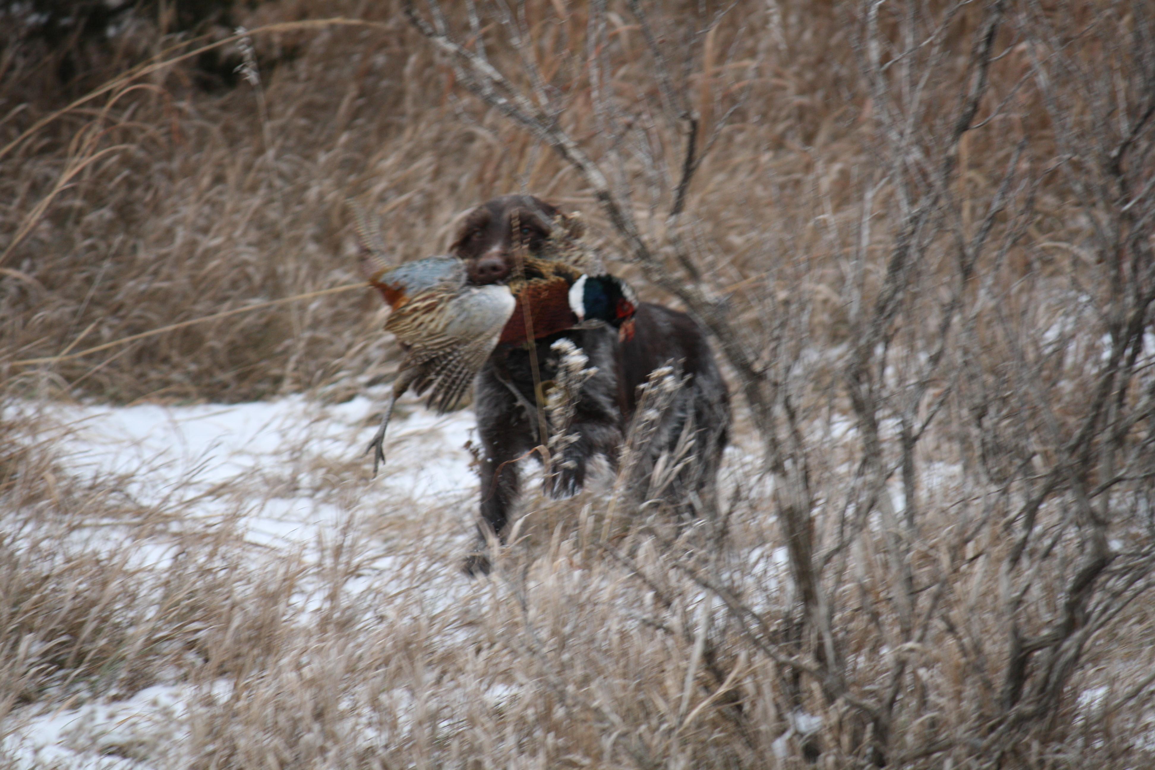 Pheasant Haven | Bluestem Kennels