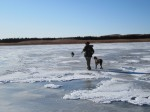 Wirehaired Pointing Griffons walking on ice