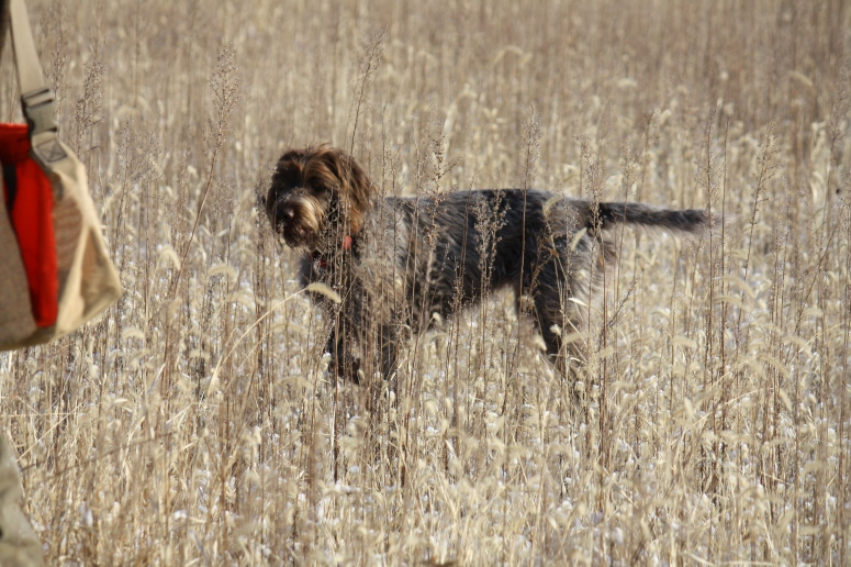 Wirehaired Pointing Griffon on point