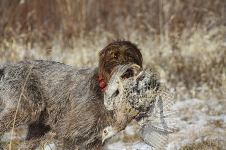 Wirehaired Pointing Griffon retrieve