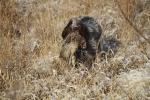Wirehaired Pointing Griffons retrieve