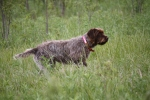 Wirehaired Pointing Griffon NAVHDA NA Test