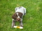Bluestem Kennels Wirehaired Pointing Griffon Puppy