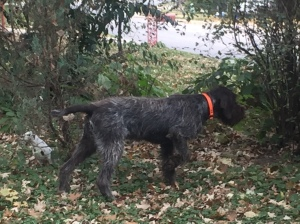 Hunting Wirehaired Pointing Griffon