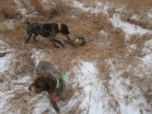 Wirehaired Pointing Griffon fighting raccoon