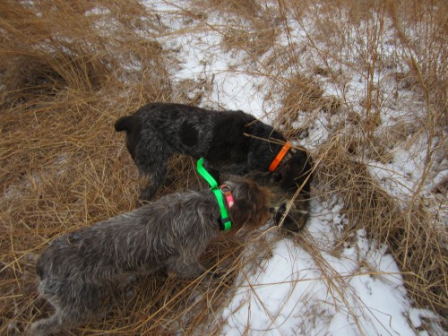 Wirehaired Pointing Griffon with raccoon