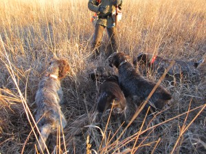 Wirehaired Pointing Griffons Raccoon