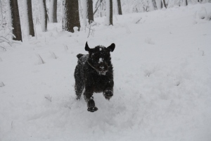 Sam Wirehaired Pointing Griffon snow