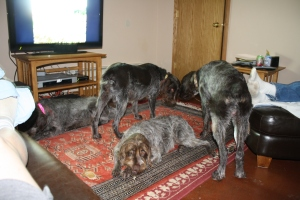 Wirehaired Pointing Griffons in the house