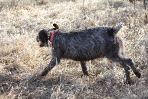 Pregnant Wirehaired Pointing Griffon Female Running