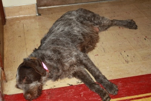Pregnant Wirehaired Pointing Griffon Female