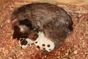 Newborn Wirehaired Pointing Griffon Puppies