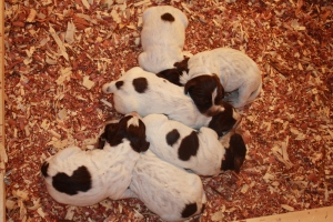 3 day old Wirehaired Pointing Griffon Puppies