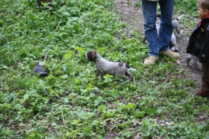 Wirehaired Pointing Griffon Puppy Pointing Bird