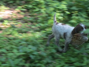 Wirehaired Pointing Griffon Pheasant Wing