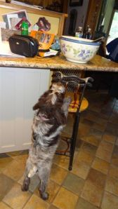 Wirehaired Pointing Griffon 8 weeks