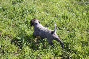 Wirehaired Pointing Griffon puppy pointing