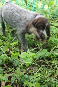 Wirehaired Pointing Griffon Puppy Bird Wing