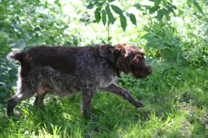 Pregnant Wirehaired Pointing Griffon
