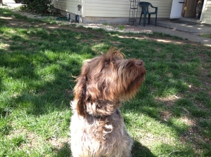 Wirehaired Pointing Griffon 1 year old