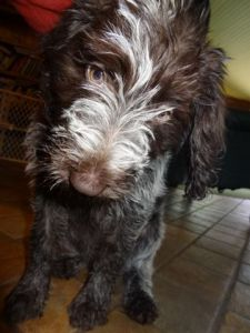 Wirehaired Pointing Griffon at 11 weeks