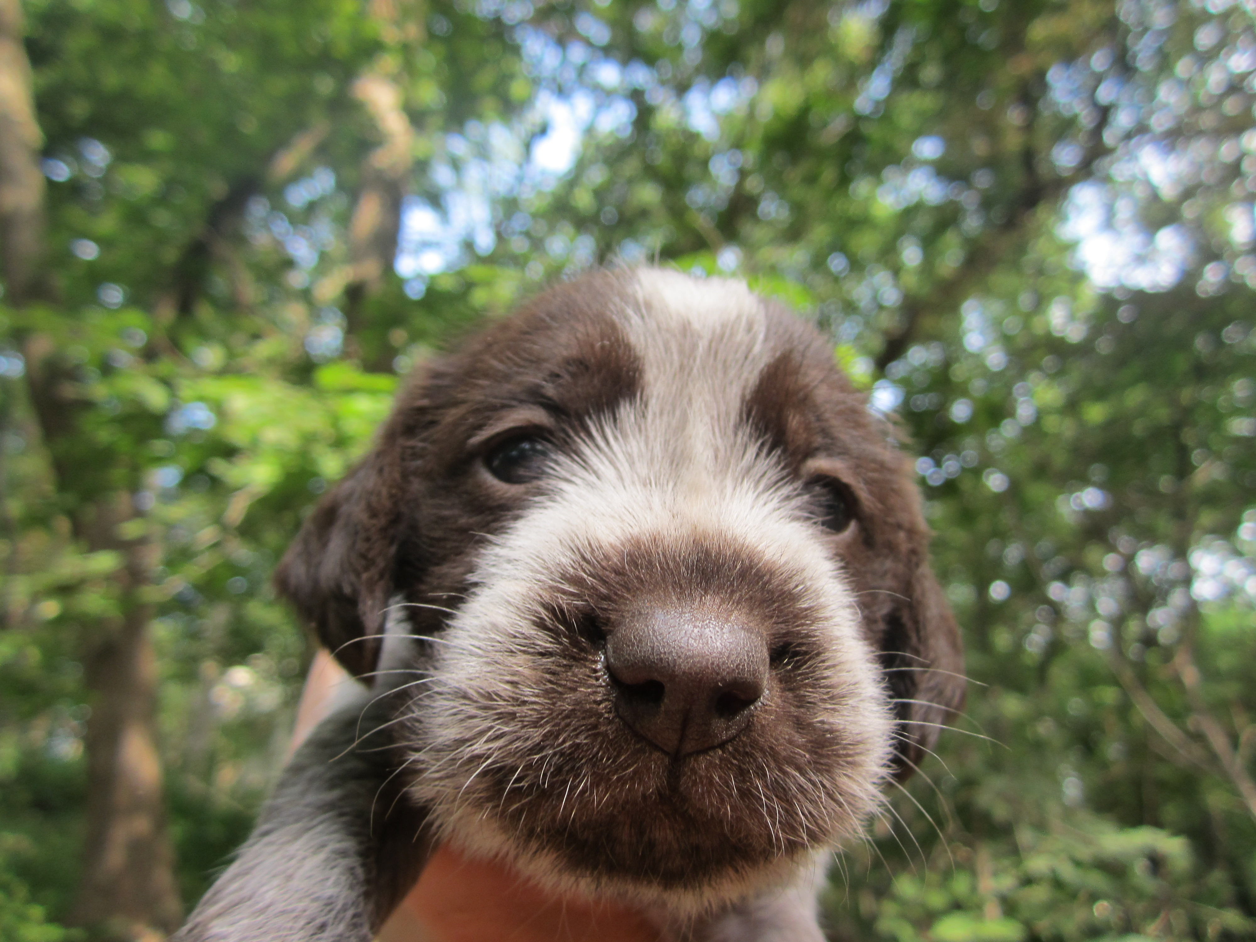 Wirehaired Pointing Griffon Puppies Female wirehaired pointing
