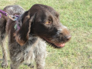 Wirehaired Pointing Griffon Two Years Old