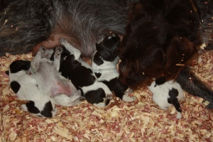 Wirehaired Pointing Griffon Puppies One Week Old