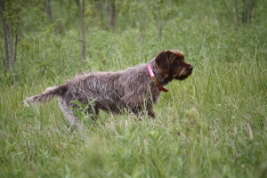 Bourg-Royal's CB Bluestem JH NA 1, Wirehaired Pointing Griffon