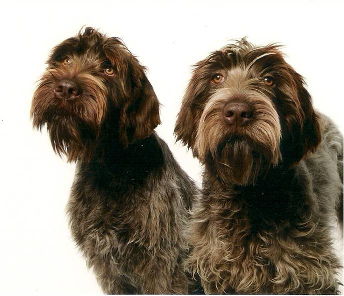 two very handsome wirehaired pointing griffons ready for the show ring ...