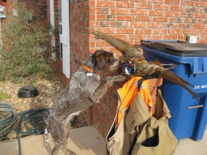 Belle (9 month old female Wirehaired Pointing Griffon) and the Oklahoma opener game bag