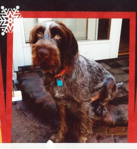 Merry Christmas from Chester (9 month old male Wirehaired Pointing Griffon)