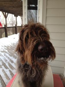 Mowgli (18 month old male Wirehaired Pointing Griffon) chillin' in the snow