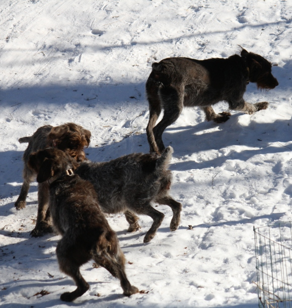 Four dog romp: Sue on top right, Sam bottom left, BB's head and Mae's hindquarters.  Wirehaired Pointing Griffons.