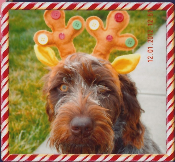 Dottie (10 mo old female Wirehaired Pointing Griffon) had a Merry Griffmas!