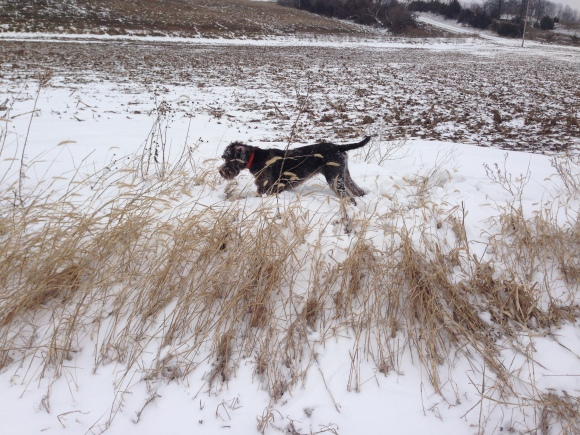 Gomer (7 mo old male Wirehaired Pointing Griffon) on point in the snow.