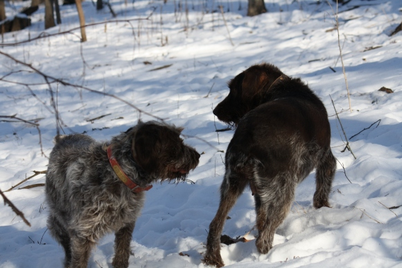 Sam's girlfriends having a serious conversation.  Mae on left, Sue on right, Wirehaired Pointing Griffons.