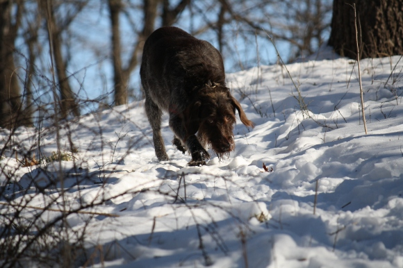 Sue on the sniff.  Wirehaired Pointing Griffon.