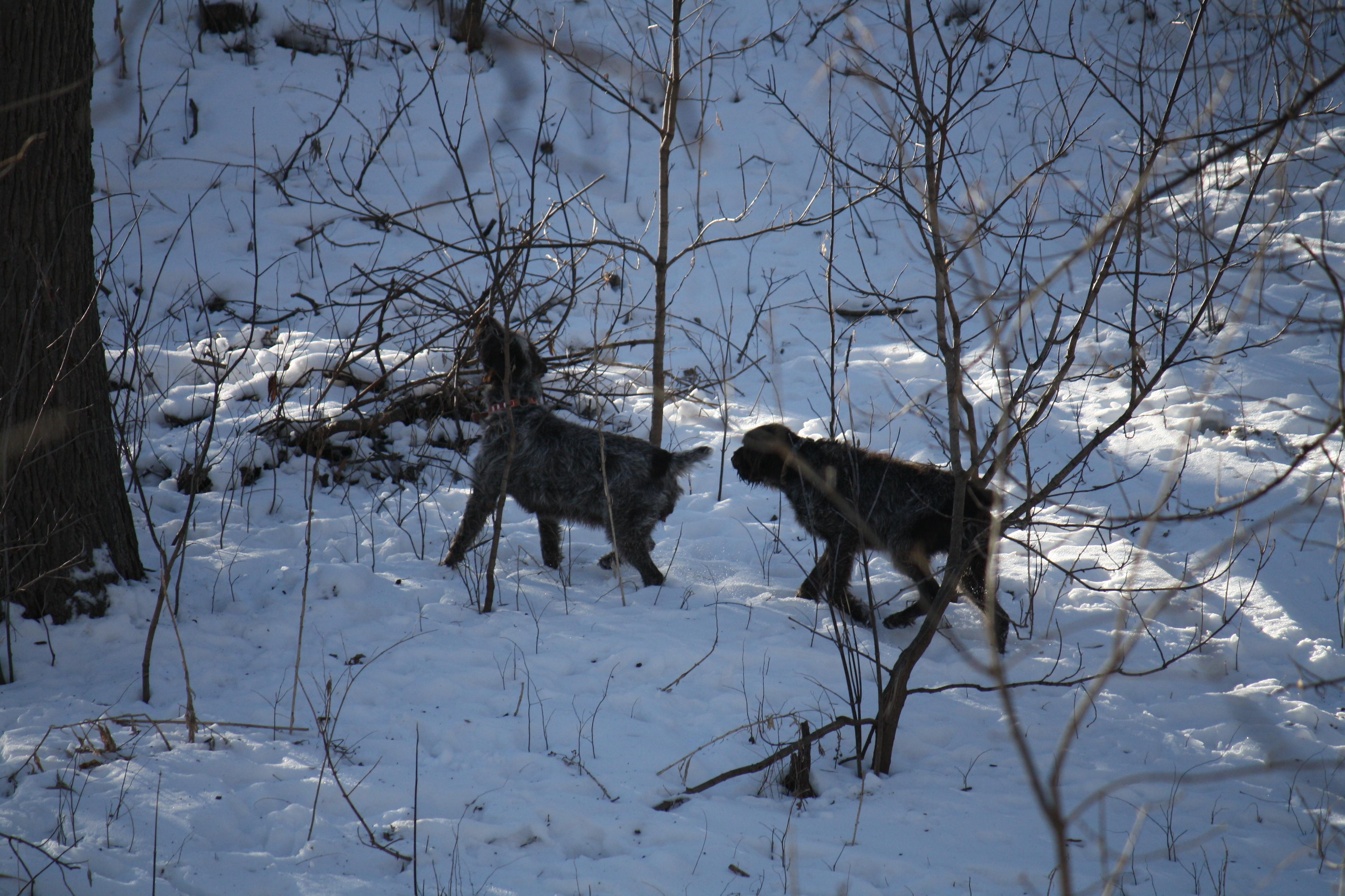 On Breeding, Hunting and Pupdates | Bluestem Kennels