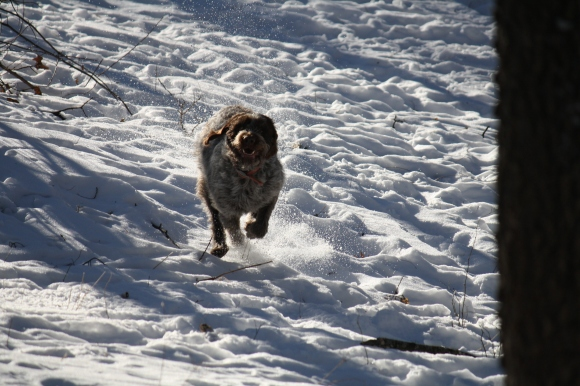 Mae having a big run down the hill.  Wirehaired Pointing Griffon.