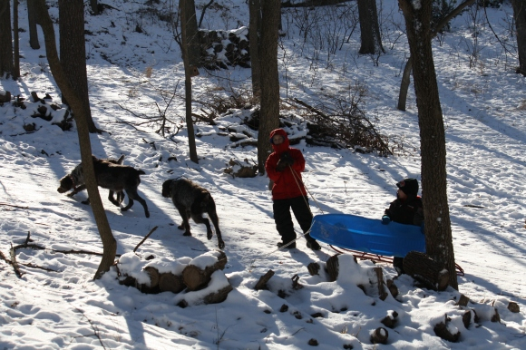 Mae, Sue and Sam with Conrad and Caleb on the sled hill.  Wirehaired Pointing Griffons.