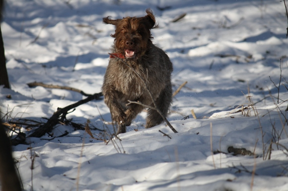 BB also had a good run.  Wirehaired Pointing Griffon.