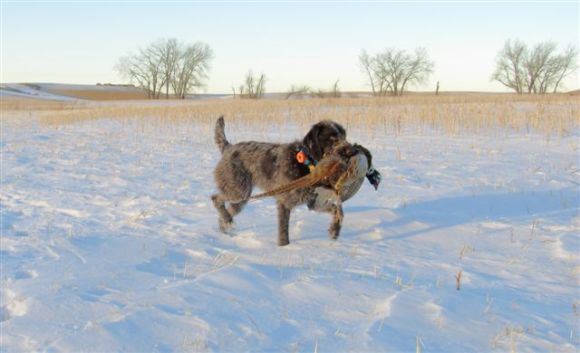 Another shot of TracHer (10 mo old Wirehaired Pointing Griffon) and the North Dakota rooster.