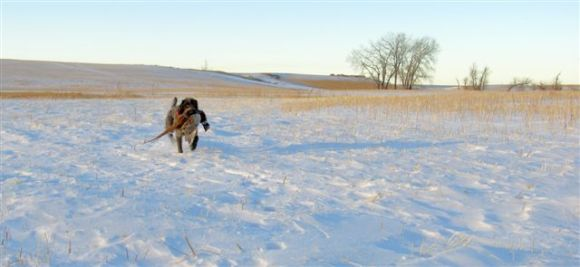 There's nothing like the North Dakota prairie.  TracHer (10 month old female Wirehaired Pointing Griffon) in her element.