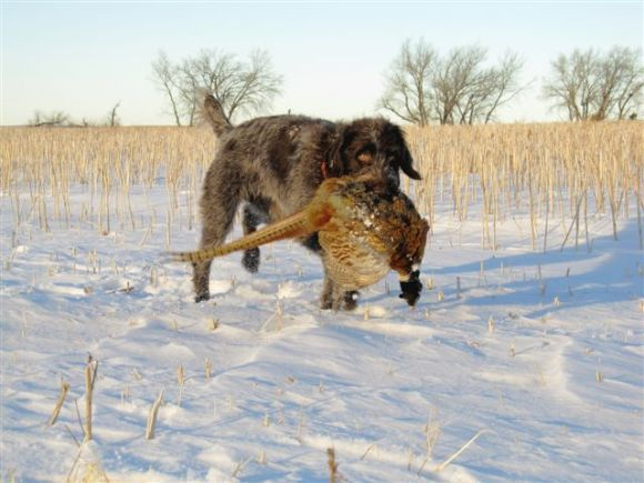 TracHer (10 mo old female Wirehaired Pointing Griffon) retrieves a big boy from North Dakota!