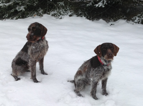 Winston the griff on left, Stella the GWP on right