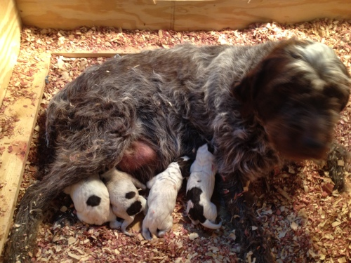 The four pups right after birth