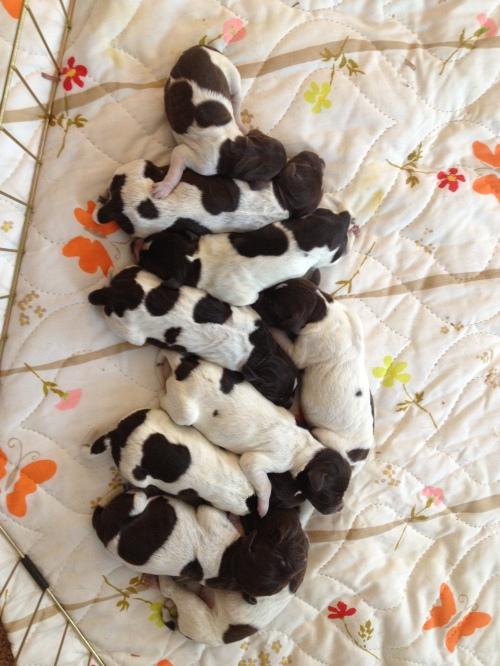 """9 puppies sleeping, """"Mole"""" is on the left"""